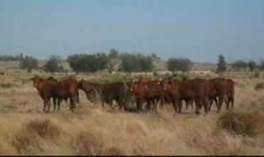 澳洲廣角 (310):澳洲昆士蘭西部的牧場