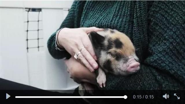 英國諾丁漢特倫特大學學生會讓學生抱小豬,以減緩考試衍生的壓力。(影片截圖)