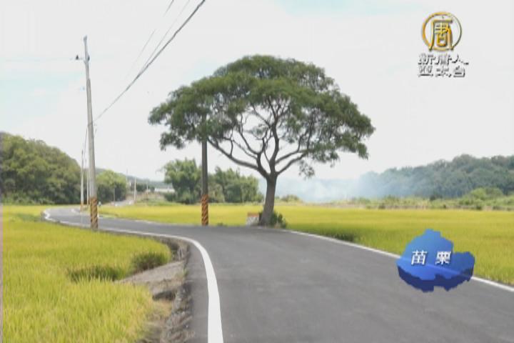 苦楝樹伴小徑 苗栗也有「伯朗大道」