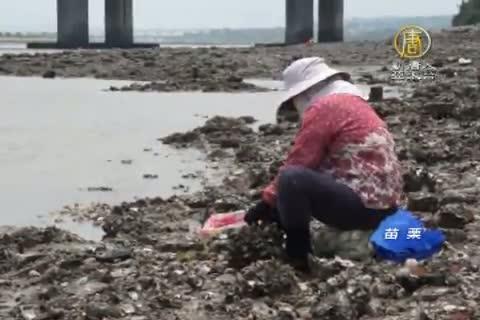 野生石蚵味鮮美 採收勿忘永續保存