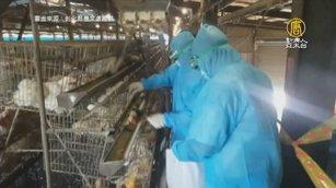 4.2萬戴奧辛雞今撲殺 是否禁養等報告